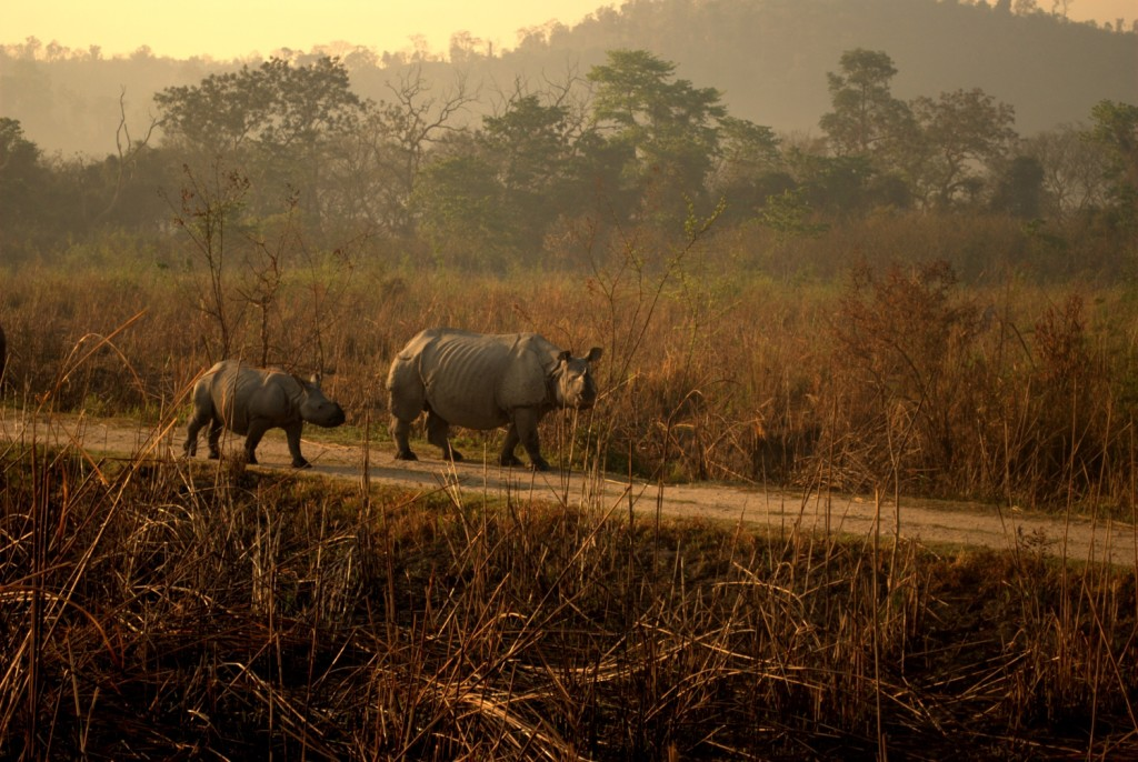 One Horned Rhinos in Kaziranga National Park