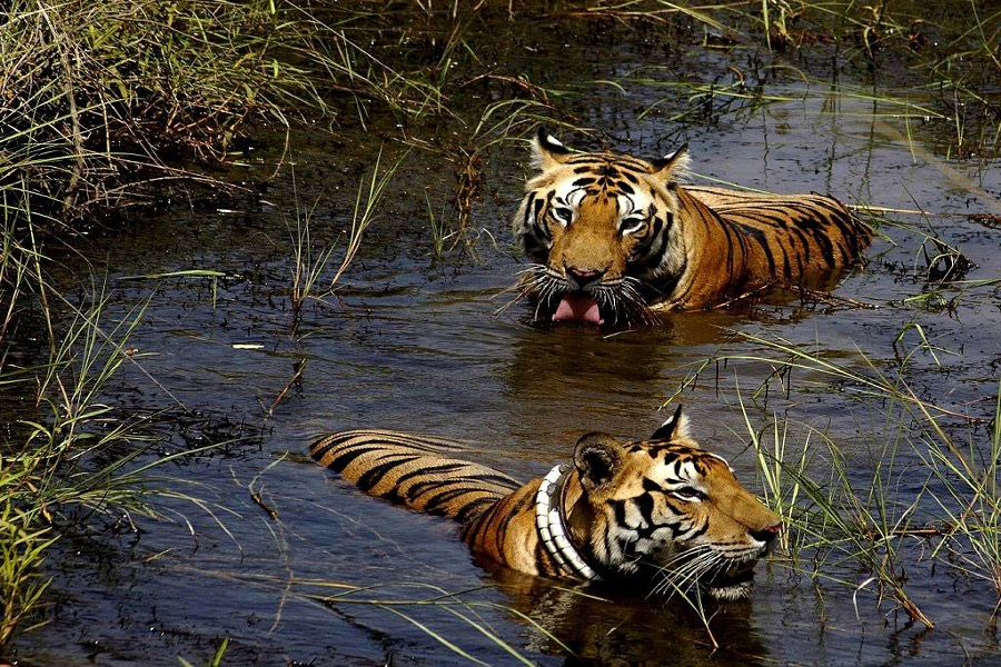 Tiger lazing in the water, Bandhavgarh, India
