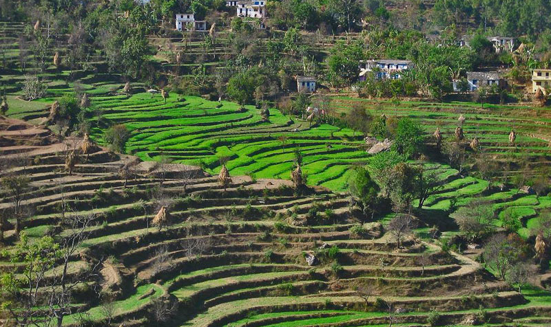 India Rice paddies Uttaranchal
