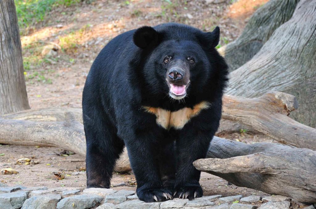Himalayan Black Bear, Nanda Devi National Park