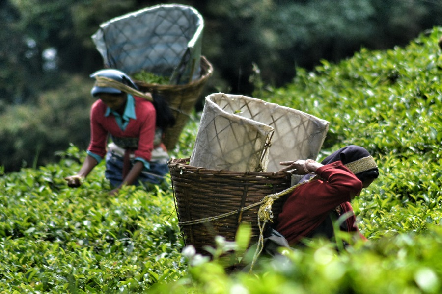 Tea Tour in Darjeeling