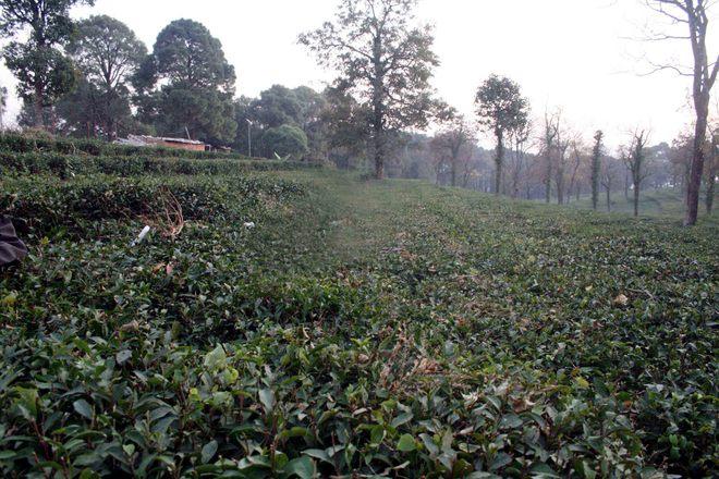 Kangra tea plantation