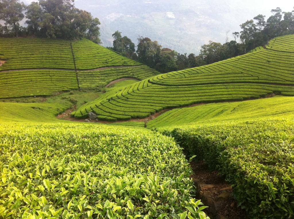 Tea Plantation Nilgiri Hills