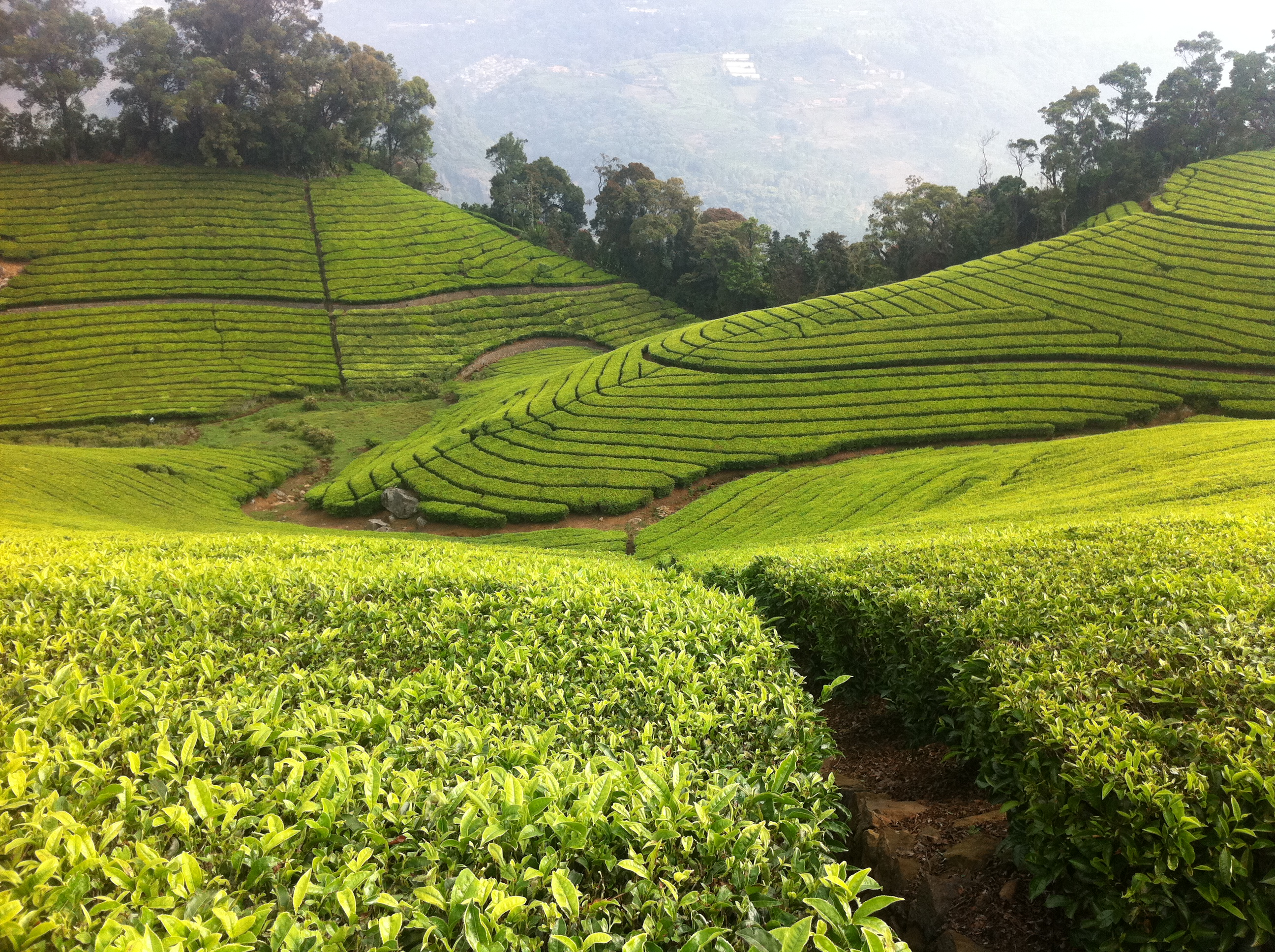 tea plantation 2015-4-29 tea is grown in different states of myanmar the total tea plantation area is around 70,000 hectares with an annual production of 78 million kg green leaves.