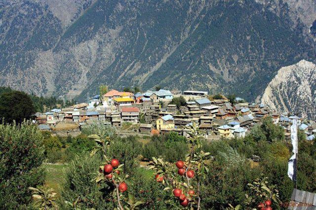 Kalpa village during apple season