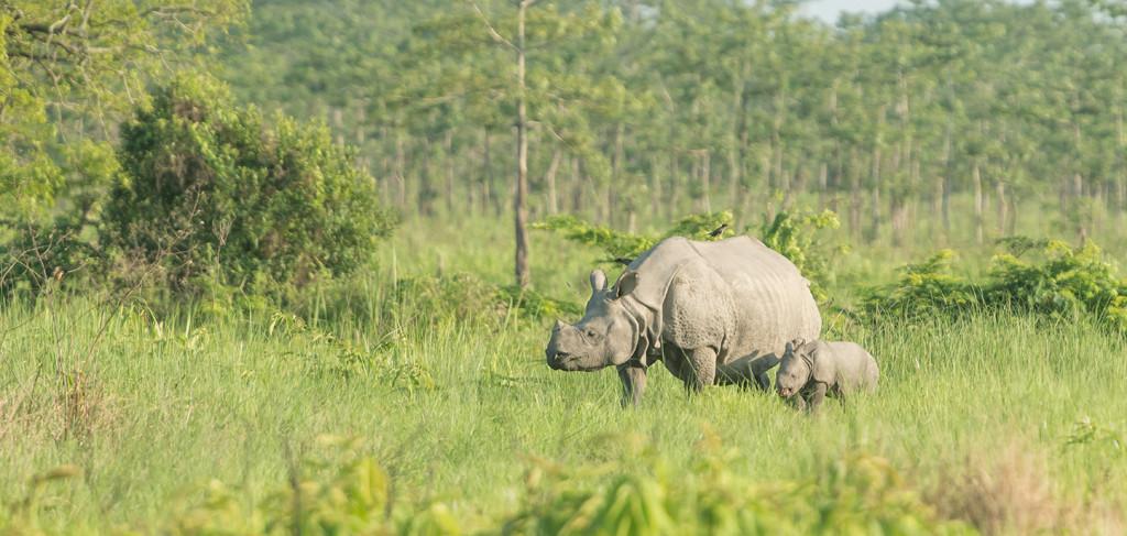 Rhino and calf in Kaziranga National Park