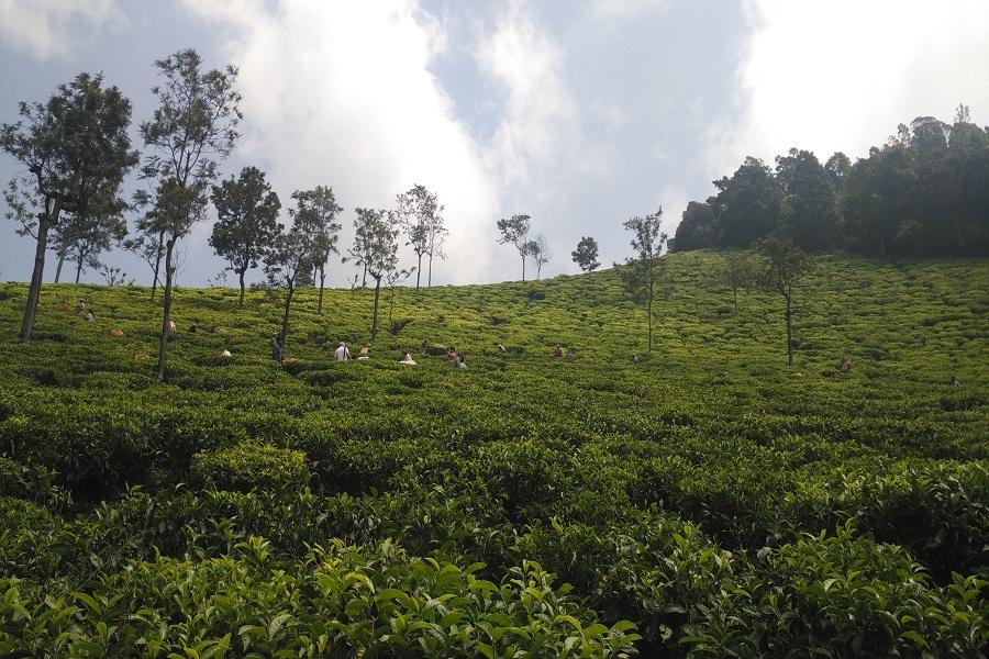 tea tour in northeast india