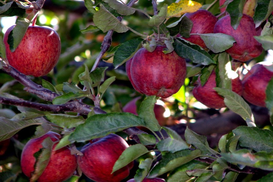 Apple Orchard Tour
